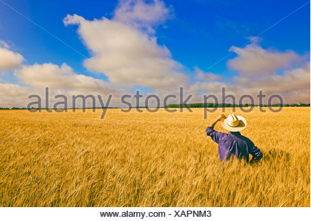 A man looks out over maturing spring wheat near Dugald, Manitoba, Canada - Stock Photo