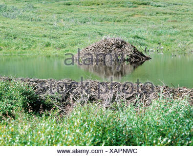 Beaver's lodge, European beavers, Castor fiber Säugetiere, wild animals, rodents, rodents, mammal, mammals, Rodentia, beavers, beaver's lodge, Castoridae, nest, shore, waters - Stock Photo
