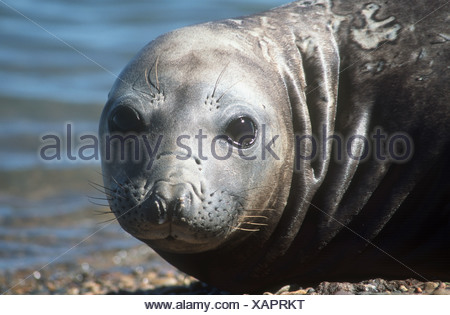 young southern elephant seal - portrait / Mirounga leonina - Stock Photo