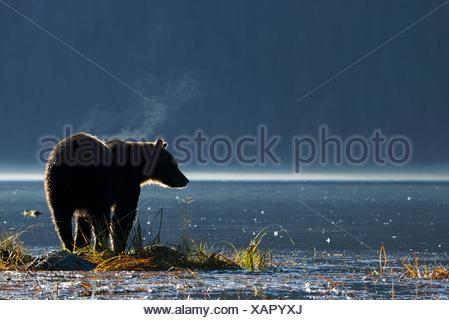North America, Canada, British Columbia, Great Bear Rainforest  Coastal Grizzly Bear - Stock Photo