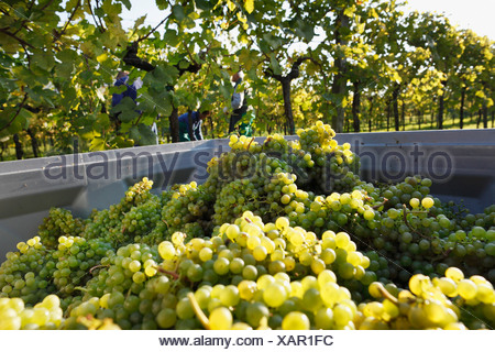Austria, Lower Austria, Mostviertel, Wachau, Arnsdorf, Grapes harvest in vineyard - Stock Photo