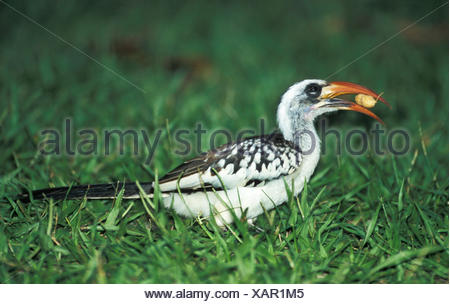 Western Red Billed Hornbill, with monkey nut in beak, fed by tourists, Tockus kempi, on grass, West Africa. - Stock Photo