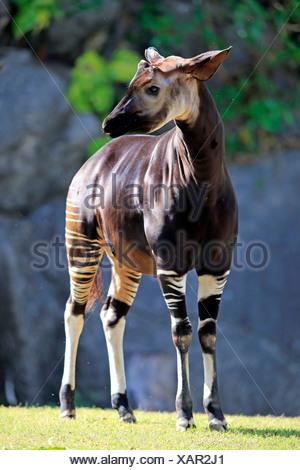 Okapi, adult alert, Africa / (Okapia johnstoni) - Stock Photo