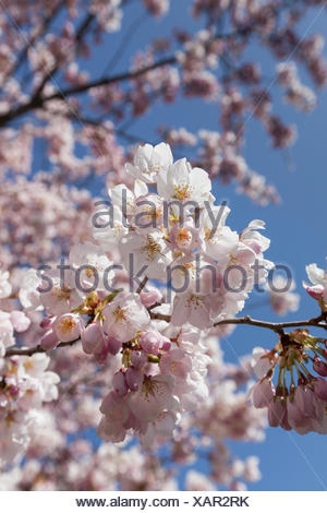 Close up of Japanese Cherry Tree blossoms in High Park, Toronto, Ontario - Stock Photo