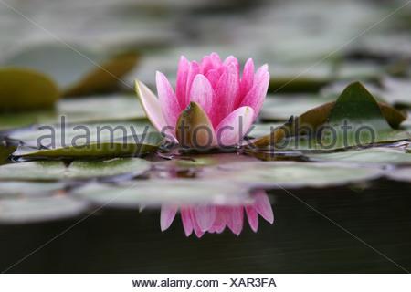 Leipzig, Germany, buehende dwarf water lily - Stock Photo