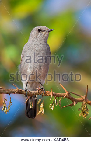 blackstart (Cercomela melanura), sitting on branch, Oman - Stock Photo