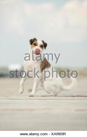 Sitting Parson Russell Terrier - Stock Photo