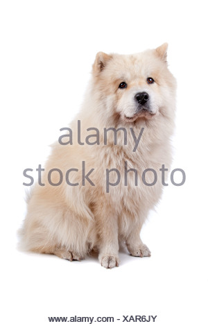 Cute mixed breed dog Chow-Chow and Samoyed sitting, isolated on a white background - Stock Photo