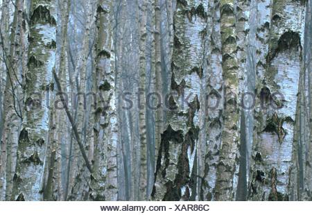 common birch, silver birch, European white birch, white birch (Betula pendula, Betula alba), forest, Germany - Stock Photo