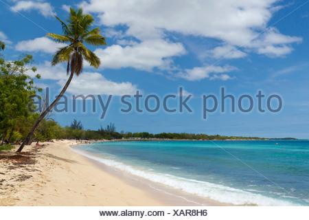 Palm tree on the Anse du Souffleur beach, Port-Louis, Grande-Terre, Guadeloupe island, French Antilles, Lesser Antilles - Stock Photo