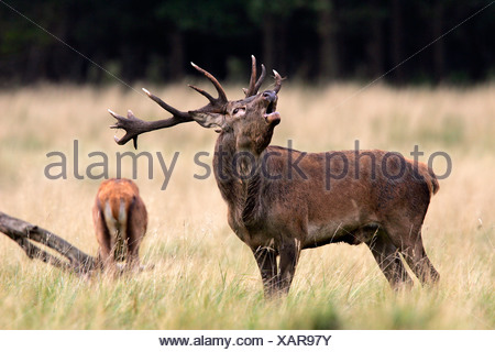 Belling red stag during the rut with grazing hind - red deer in heat - male and female (Cervus elaphus) - Stock Photo