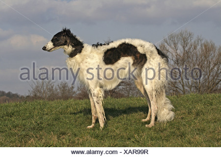 Barzoi (Canis lupus f. familiaris), standing on a meadow - Stock Photo