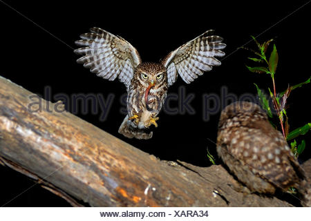 little owl (Athene noctua), approaching a branch with a squeeker with worm in a claw, Germany, North Rhine-Westphalia, Langenberg - Stock Photo