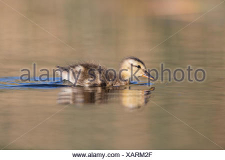Mallard (Anas platyrhynchos), duckling, Kamloops, British Columbia. - Stock Photo