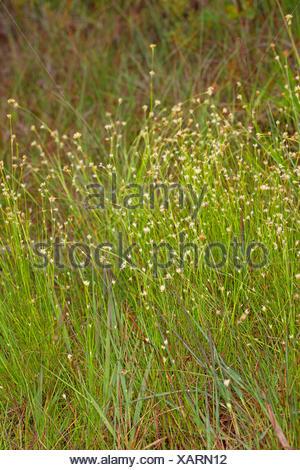 white beak-sedge (Rhynchospora alba), blooming, Germany - Stock Photo