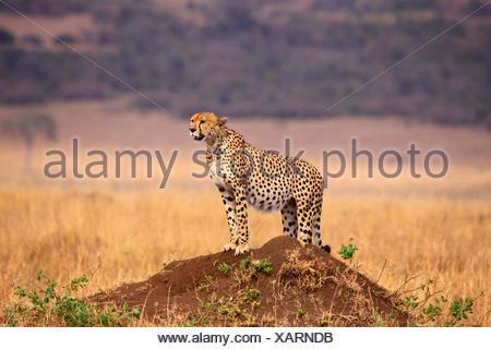 cheetah (Acinonyx jubatus), on a mound looking around, Tanzania, Serengeti National Park - Stock Photo