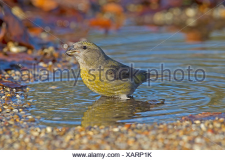 Common Crossbill Loxia curvirostra - Female - Stock Photo