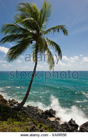 Coconut palm, Big Corn Island, Caribbean Sea, Nicaragua, Central America - Stock Photo