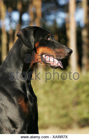 Dobermann Pinscher Portrait - Stock Photo