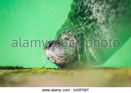Seal (Phoca vitulina) asleep in green water, Den Helder, North Holland, Netherlands, Europe - Stock Photo