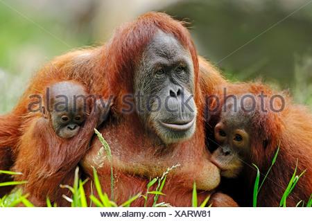 Sumatran Orangutan (Pongo pygmaeus abelii, Pongo abelii), female with youngs, native to Sumatra, Asia, in captivity - Stock Photo