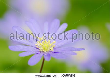 Blue Anemone or Grecian Windflower (Anemone apennina, Anemone blanda), North Rhine-Westphalia, Germany - Stock Photo