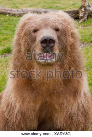 CAPTIVE: Close up of a young female Kodiak Brown bear showing teeth, Alaska Wildlife Conservation Center, Alaska - Stock Photo
