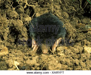 A mole Talpa europaea digging among grass roots - Stock Photo