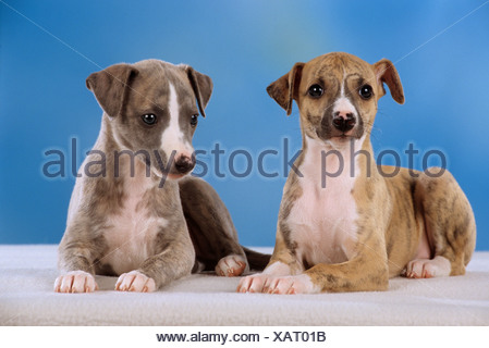 two whippet puppies - cut out - Stock Photo