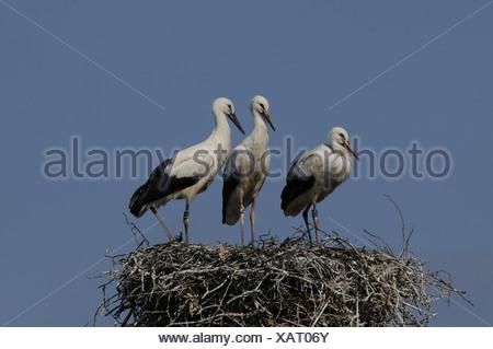 White Stork, Ciconia ciconia, Ciconiidae, nest, nestlings, Damphreux, Canton, Jura, Switzerland - Stock Photo
