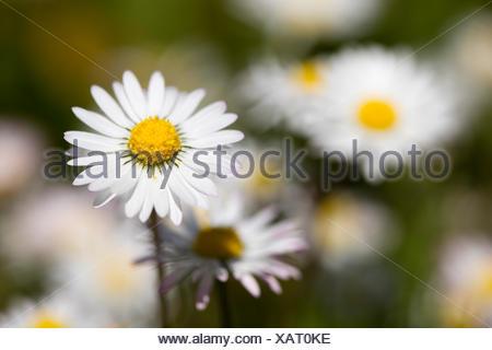 Daisies (Bellis perennis) North Rhine-Westphalia, Germany - Stock Photo