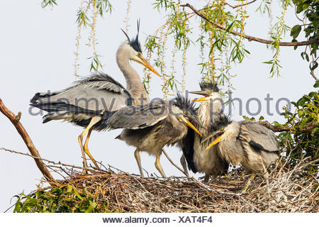 Grey Heron (Ardea cinerea), adult with young birds in a nest, Lower Saxony, Germany - Stock Photo