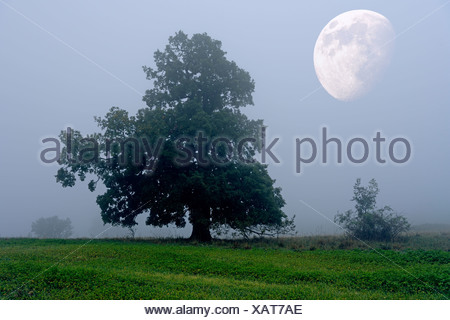 English oak (Quercus robur), with moon, autumn landscape, Swabian Alb, Baden-Wuerttemberg, Germany, Europe, composite - Stock Photo