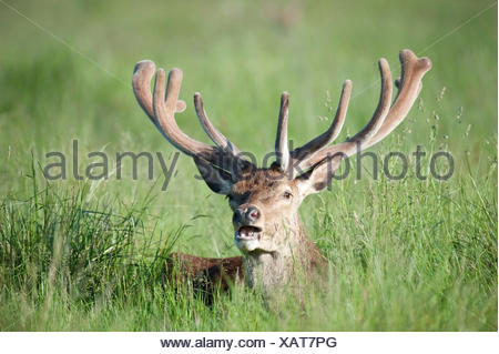 Red Deer Cervus elaphus Richmond Park London UK - Stock Photo