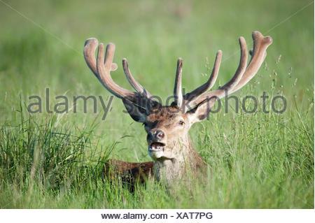 Red Deer Cervus elaphus Richmond Park London UK - Stock Photo