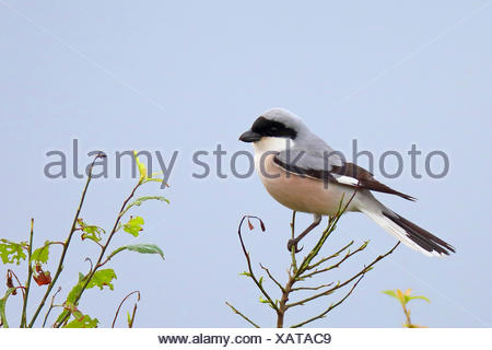 lesser grey shrike (Lanius minor), sits on top of a bush, Bulgaria, Kaliakra - Stock Photo