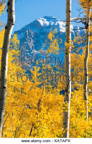 Colorado, Dallas Divide, Snowy mountain framed by autumn trees Stock ...