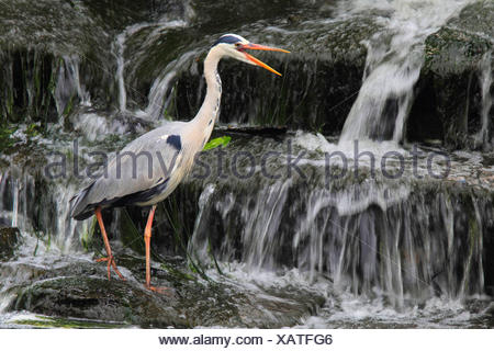 grey heron (Ardea cinerea), on the feed at a waterfall calling, Germany - Stock Photo