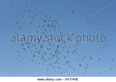 White Stork - Ciconia ciconia migrating flock Bet She'an valley Israel - Stock Photo