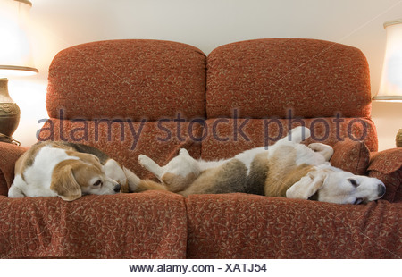 Domestic Dog, Beagle, two elderly adults, sleeping on sofa, England - Stock Photo