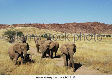 Herd of elephants, Namibia - Stock Photo