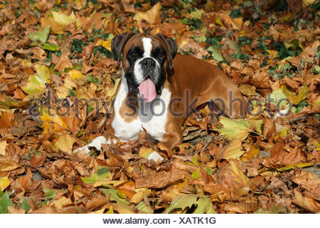 boxer in autumnal leaves - Stock Photo