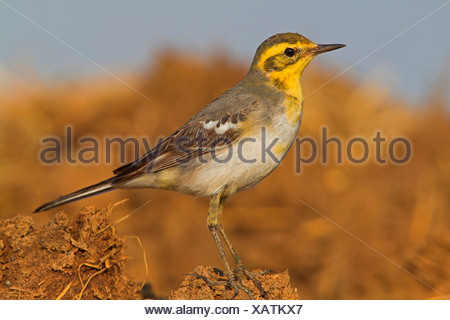 citrine wagtail (Motacilla citreola citreola), sitting on the ground, Oman - Stock Photo