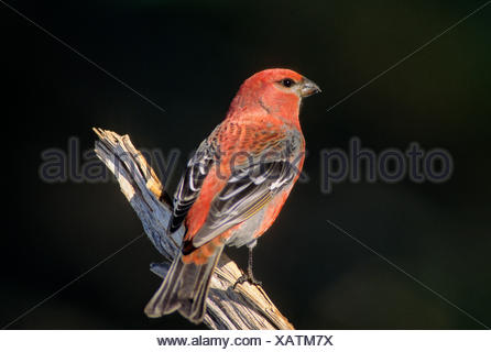 Pine Grosbeak (Pinicola enucleator) Adult Male forages in trees bushes mainly eating seeds buds berries insects. Outside the - Stock Photo