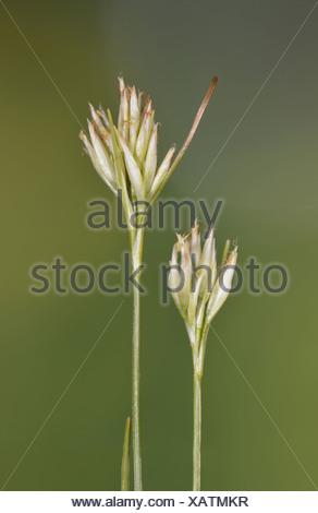 WHITE BEAK-SEDGE Rhynchospora alba (Cyperaceae) - Stock Photo