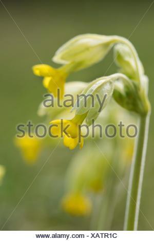 Cowslip, Primula veris, Park Gate Down, Kent Wildlife Trust, UK, - Stock Photo