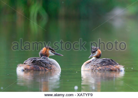 Two Great Crested Grebes (Podiceps cristatus) with chicks in plumage, North Hesse, Hesse, Germany - Stock Photo
