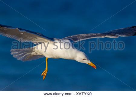 Yellow-legged Gull (Larus michahellis, Larus cachinnans michahellis), flying, Spain, Balearen, Majorca - Stock Photo
