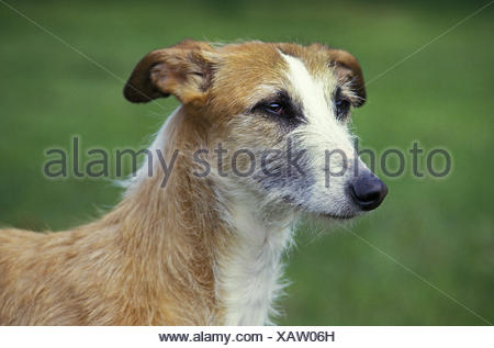 Spanish Wire-Haired Galgo or Spanish Greyhound, Portrait of Adult - Stock Photo