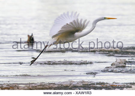 great egret, Great White Egret (Egretta alba, Casmerodius albus, Ardea alba), flying up from the ice sheet, Germany, Bavaria, Lake Chiemsee - Stock Photo
